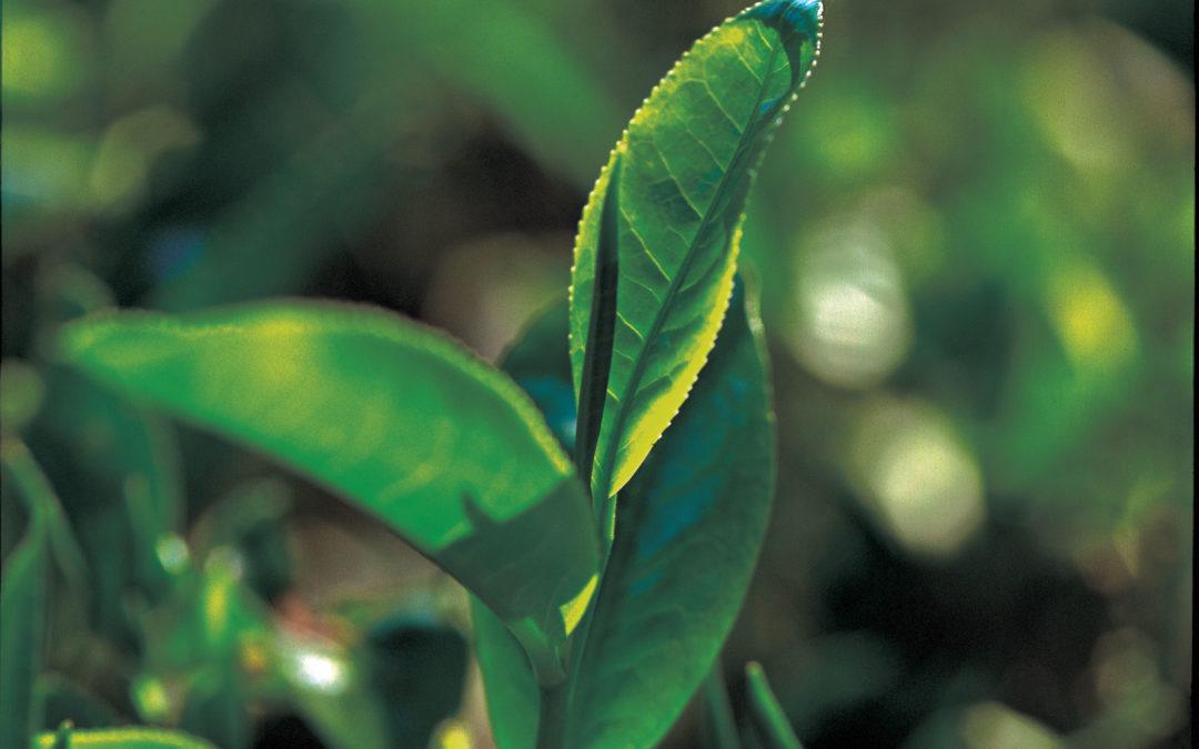 Egy növény – számtalan teafajta